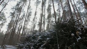 Cut logs and branches from a tree trunk lying in the forest partially covered in snow.  stock video footage