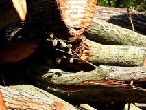 Cut logs. Cut wooden logs waiting for chopping or sawing in the lumber yard Royalty Free Stock Photos