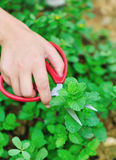 Cut mint. Hand with scissors cut mint in field Royalty Free Stock Photography