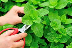 Cut mint Royalty Free Stock Images