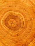 Cut Of A Tree An Oak Royalty Free Stock Image