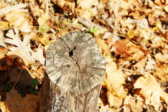 Cut old dead tree trunk Royalty Free Stock Photos