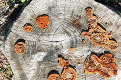 Cut old dead tree trunk with fungus Royalty Free Stock Images