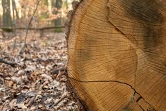 Cut of an old, golden and dry trunk laying in the forest. stock photos