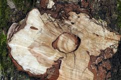 Cut old tree, can use as background Royalty Free Stock Images