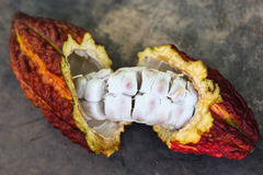 A cut opened cocoa pod Stock Photography
