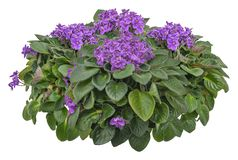 Free Cut Out African Violet, Bed Of Flowers Royalty Free Stock Photos - 160381478
