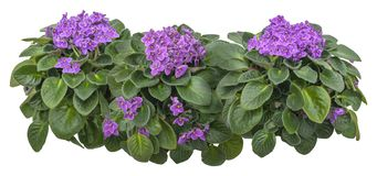 Free Cut Out African Violet, Bed Of Flowers Stock Photos - 160381793