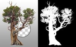 Cut out Bristlecone Pine. Olld tree trunk
