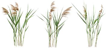 Free Cut Out Cattail. Distaff Isolated Stock Photos - 160382113