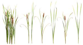 Free Cut Out Cattail. Distaff Isolated Royalty Free Stock Images - 160382709