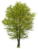 Cut out green tree. Tree in summer isolated