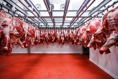 Cut out of a half beef chunks fresh hung and arranged in a row in a large fridge in the fridge meat industry. stock photo