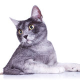 Cut out image of an adorable grey cat Royalty Free Stock Image
