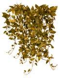 Cut out ivy plant. Tropical vegetation