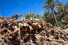 Cut Palm tree branches in an oasis. Found in the UAE, The palm tree plantation and blue sky in the background Royalty Free Stock Photography