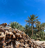 Cut Palm tree branches in an oasis Royalty Free Stock Image