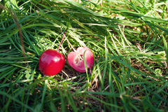 Cut paradise apple in the grass Royalty Free Stock Photography