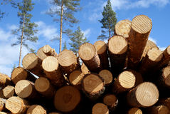 Cut Pine Logs In Forest Stock Image