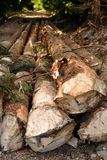 Cut pine logs in forest Stock Photos