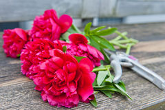 Cut pink peonies Stock Images