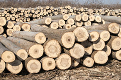 Cut poplar logs Royalty Free Stock Photography