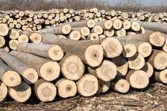 Cut poplar logs. Stacked cut poplar logs on wood-cutting area Royalty Free Stock Photography