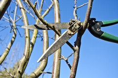 Cut  prune apple tree branch in spring with scissors tool Royalty Free Stock Photography