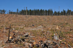 A cut radiata pine plantation area with forest. This section of a radiata pine plantation was cut down less than a week before. The edge of the mature forest to stock photography