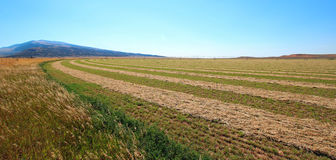 Cut - Raked - Alfalfa Field in the Pryor Mountains in Montana. USA Stock Photos