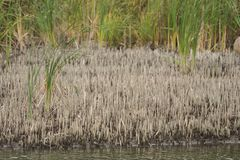 Cut reed by the river Royalty Free Stock Image