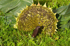 Cut ripe sunflower head head knife meadow grass Royalty Free Stock Photography