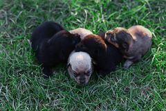 Cut sleeping four newborns puppies on green grass royalty free stock image