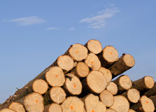 Cut spruce fir tree logs on background of blue sky Royalty Free Stock Image