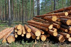 Cut and Stacked Pine Timber in Forest Stock Photo