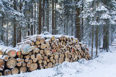 Cut and stacked pine timber in forest in winter Stock Photography