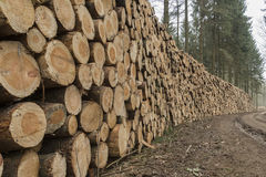 Cut and stacked pine timber in green forest royalty free stock image