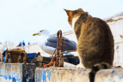 Cut staring at a bird in the harbor of Essaouira in Morocco Royalty Free Stock Images