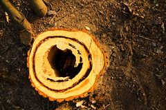Cut stump Royalty Free Stock Photo