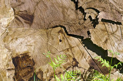 Cut surface of a felled tree. Trunk Royalty Free Stock Images