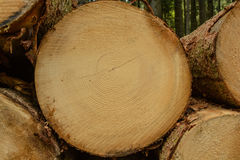 Cut surface of a spruce clearly shows growth rings. The cut surface of a spruce growth rings are clearly visible - Roundwood Closeup Stock Image