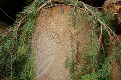 Cut surface of a spruce - growth rings Stock Image
