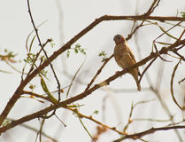 A Cut-throat Finch Royalty Free Stock Photography