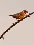 The Cut-throat Finch Stock Images