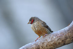 Cut-throat finch amadina fasciata Royalty Free Stock Photos