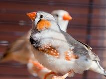 Cut-throat Finch bird Stock Images