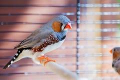 Cut-throat Finch bird Stock Image