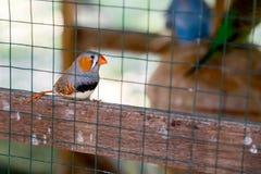 Cut-throat Finch bird Stock Photos