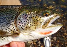 Cut throat trout Stock Image
