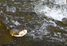 Cut throat trout. A cut throat trout fish on the hook in the wood river in the rocky mountains of wyoming royalty free stock photos